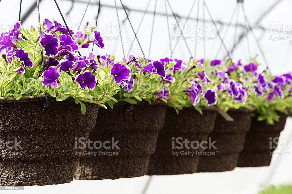 A row of purple greenhouse seedlings in bloom stock photo