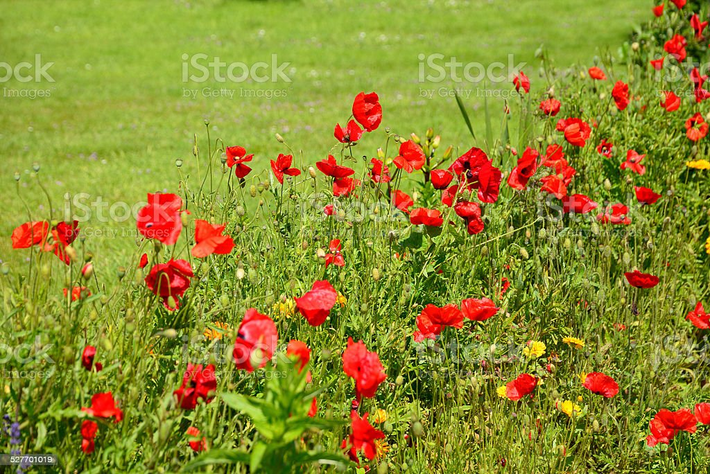 Row of red poppy flowers at edge of lawn stock photo