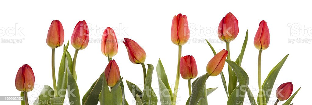 row of red tulips stock photo