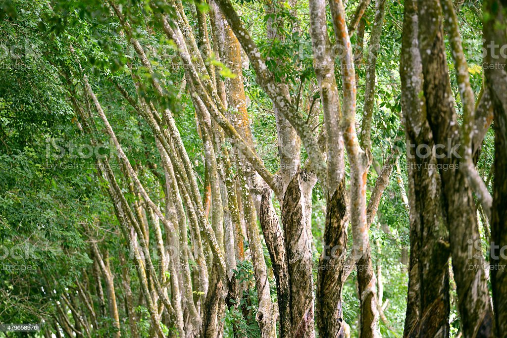 Row of rubber tree forest stock photo