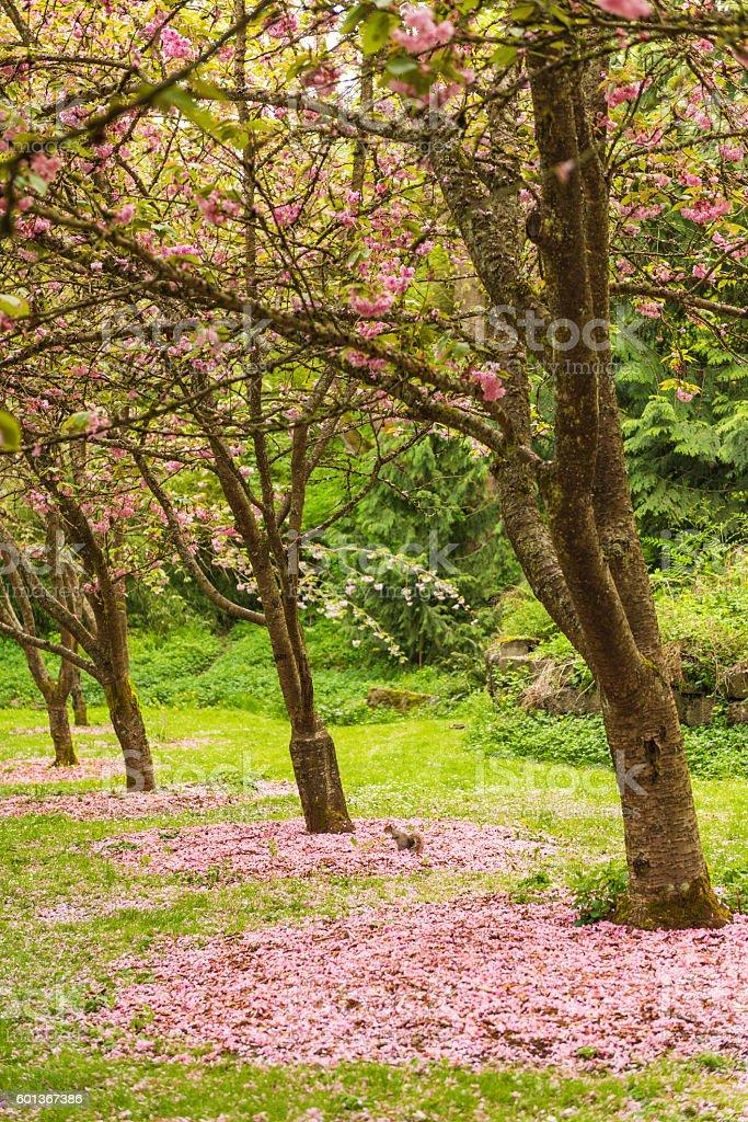 Row of sakura blossom trees with fallen pink flowers stock photo