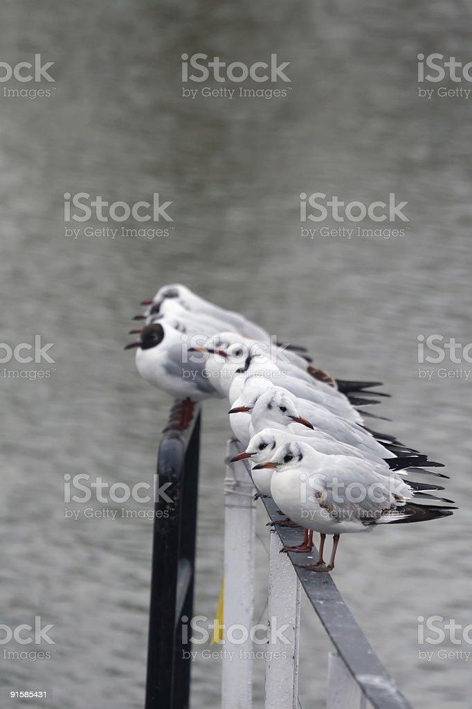 Row Of Seagulls royalty-free stock photo