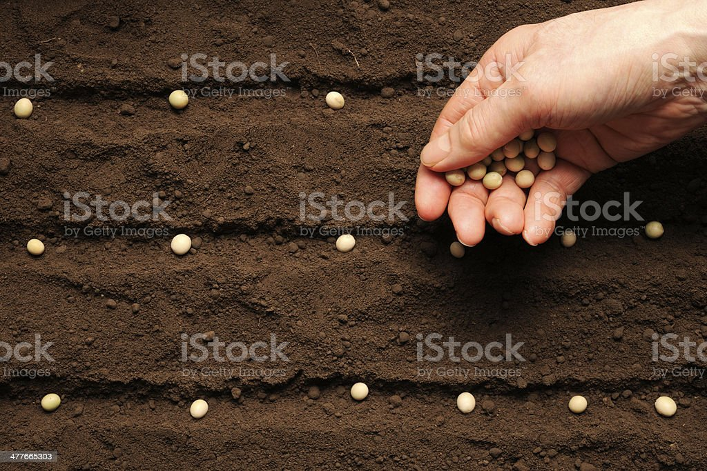 Row of sowing soybean bean seed on fertile soil stock photo