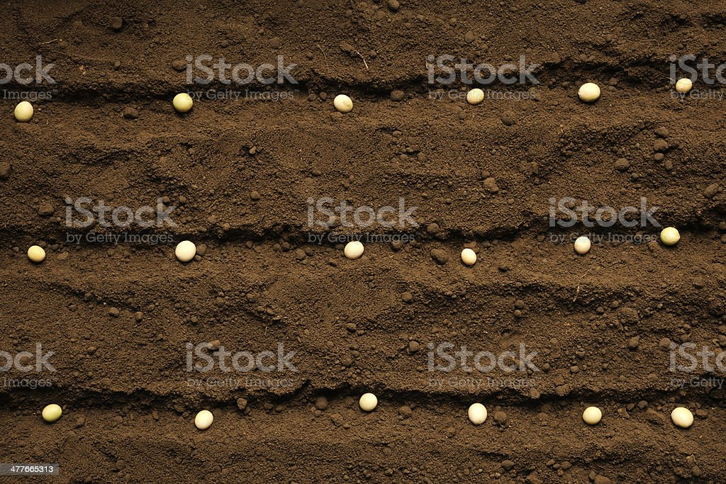Row of sowing soybeans seed on fertile soil royalty-free stock photo