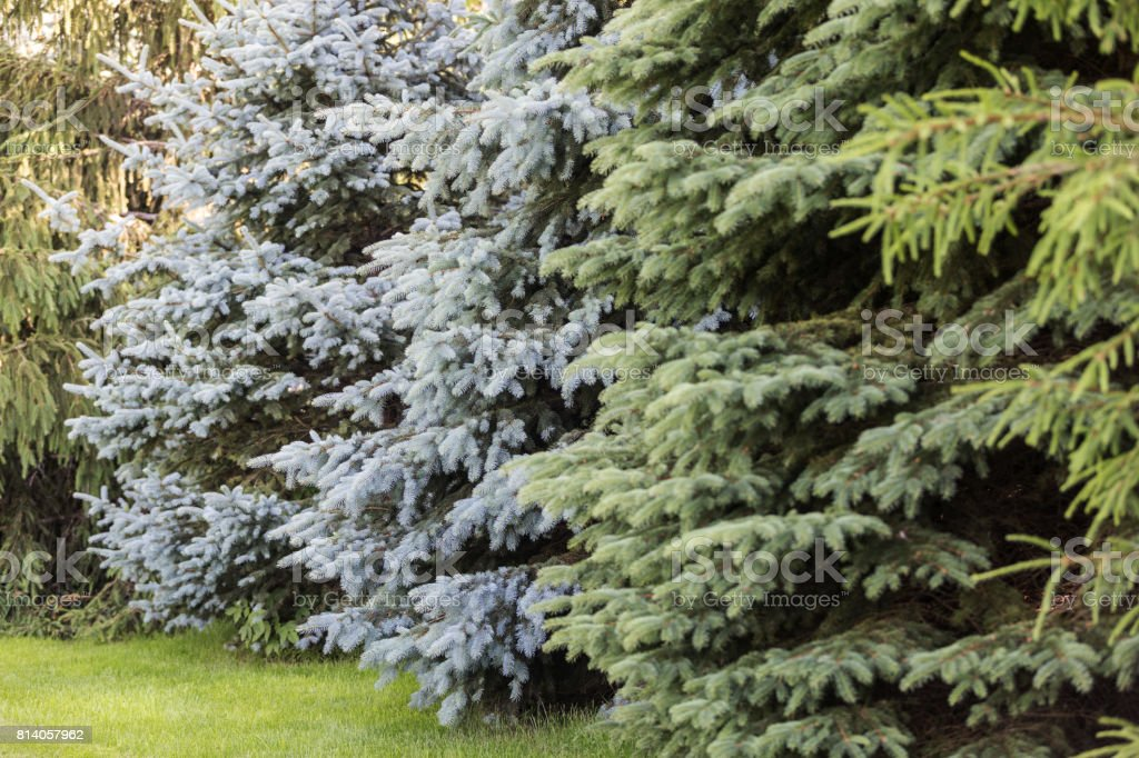 Row of Spruce Trees stock photo