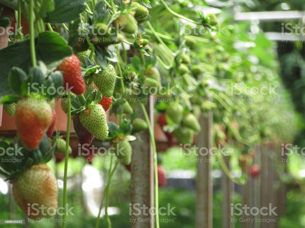 Row of Strawberries at Hydroponic Farm stock photo