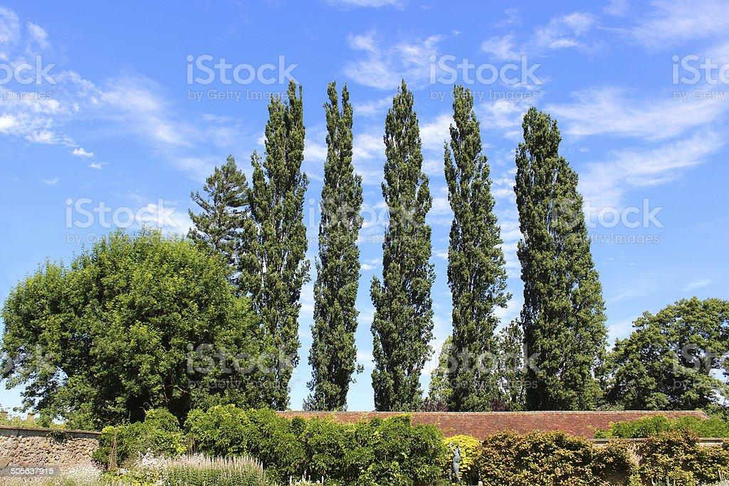 Row of tall Lombardy poplar trees (Latin: Populus nigra 'Italica') stock photo