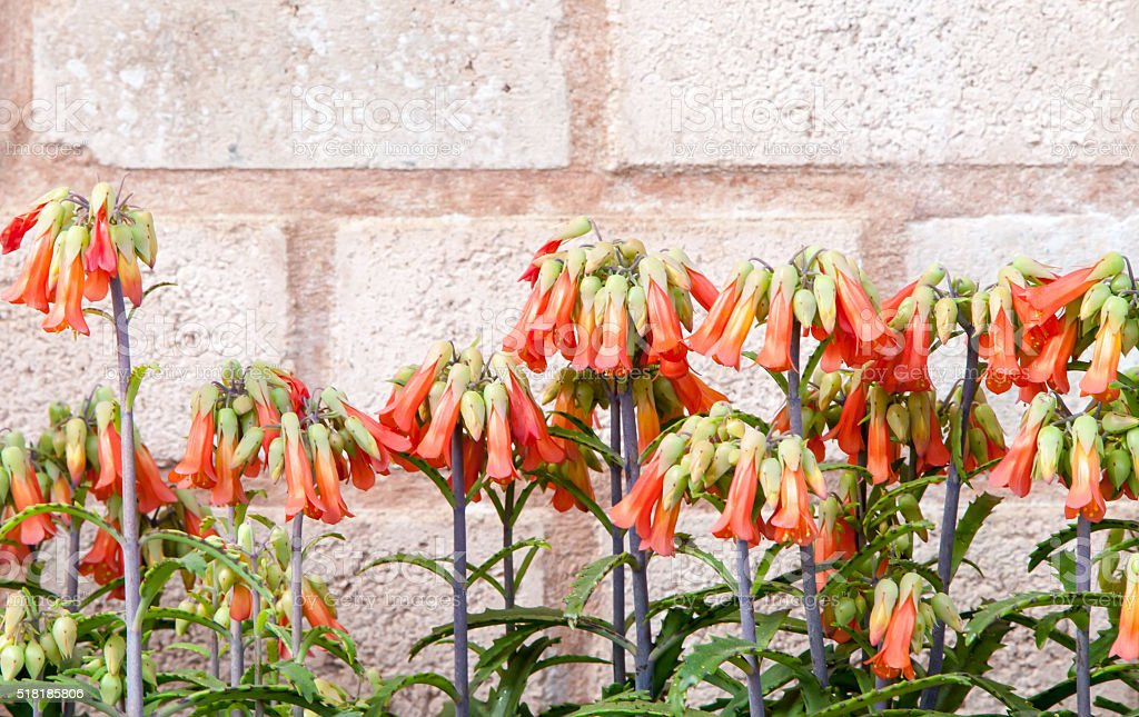 Row of tall stemmed multicolored bell shaped flowers stock photo