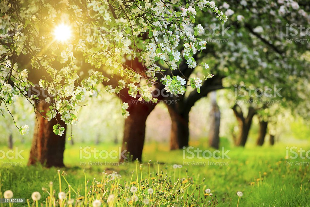 Row of the Blooming Trees, Orchard during Sunset royalty-free stock photo