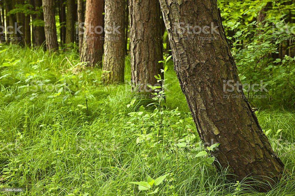 Row of Trees in Forest royalty-free stock photo