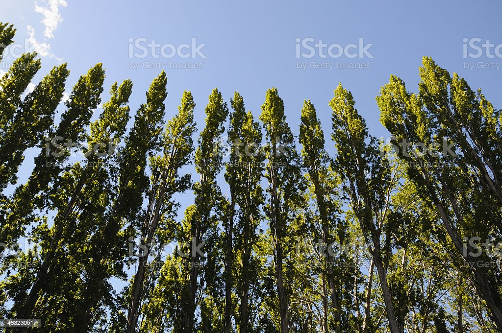 Row of Trees on Blue royalty-free stock photo