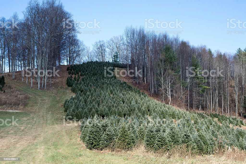 Row of uncut live Christmas trees stock photo