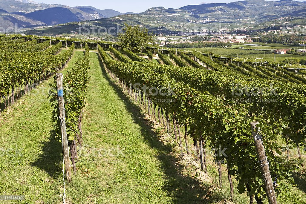 row of vine royalty-free stock photo