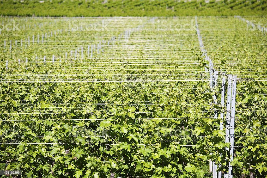 row of vine stock photo