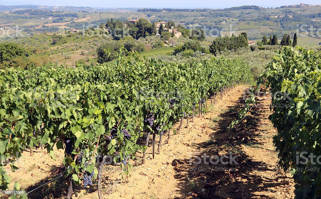 row of vines with grapes in the countryside stock photo