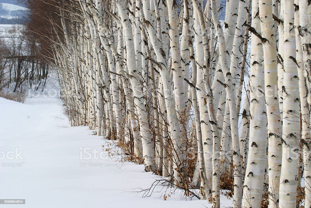 Row of white birch Hokkaido, Japan stock photo