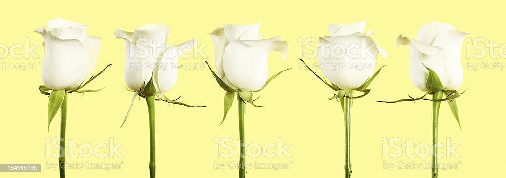 Row of white roses on yellow stock photo