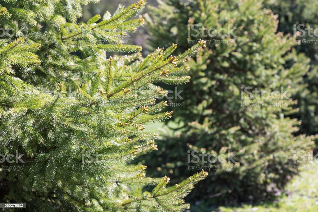 Row of White Spruce Trees stock photo
