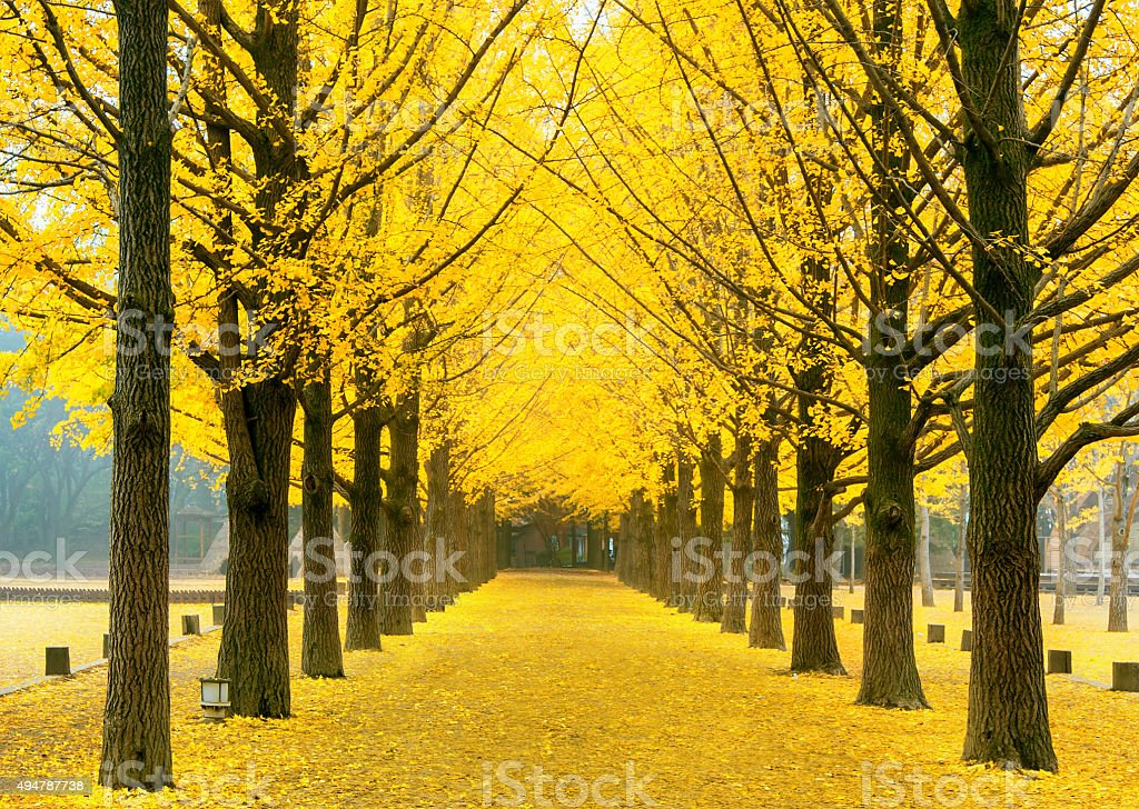 Row of yellow ginkgo tree in Nami Island, Korea stock photo