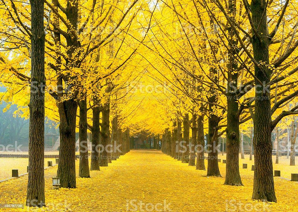 Row of yellow ginkgo tree in Nami Island, Korea stock photo