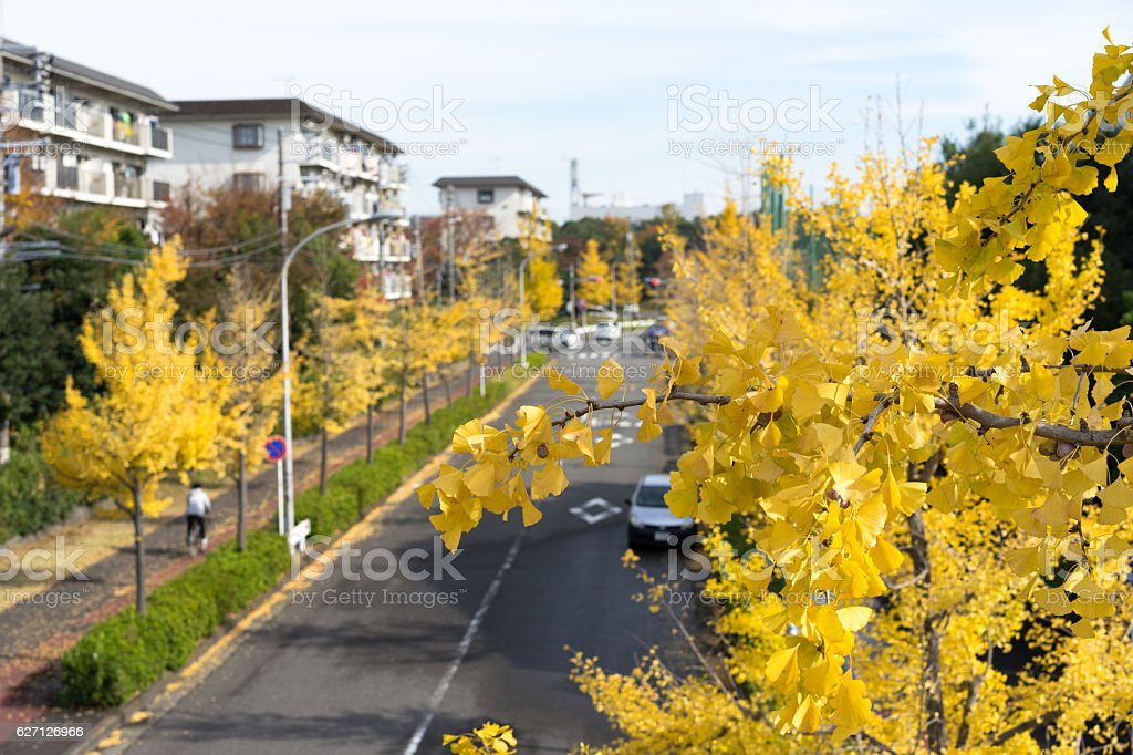 Row of yellow ginkgo trees and Japanese apartment. 2 stock photo
