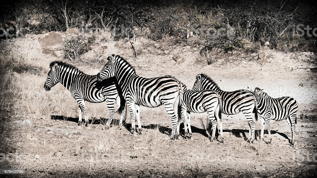 Row of zebras, Waterberg,Limpopo,South Africa stock photo