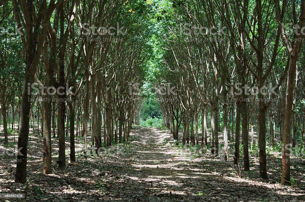 row rubber tree platation stock photo