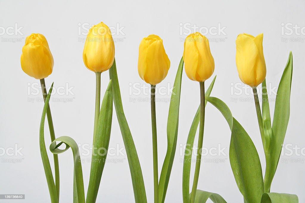 Row tulip on white background royalty-free stock photo