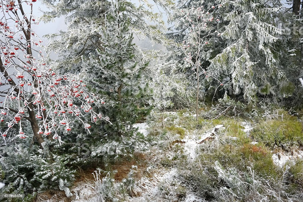 Rowan and other trees in the frost, Slovakia stock photo