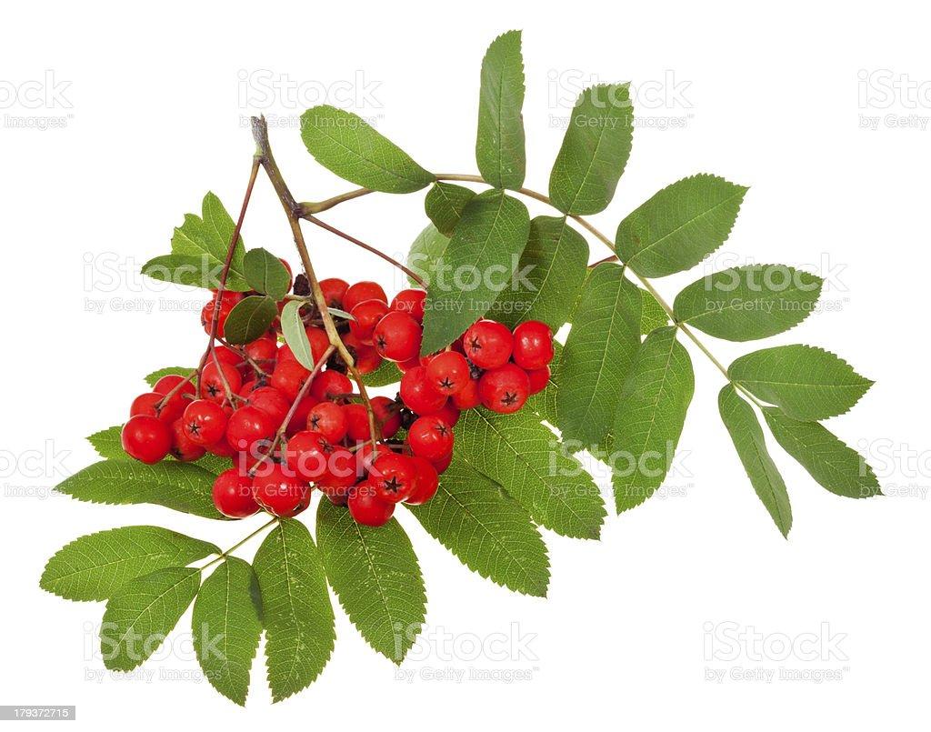 rowan berries and green leaves stock photo