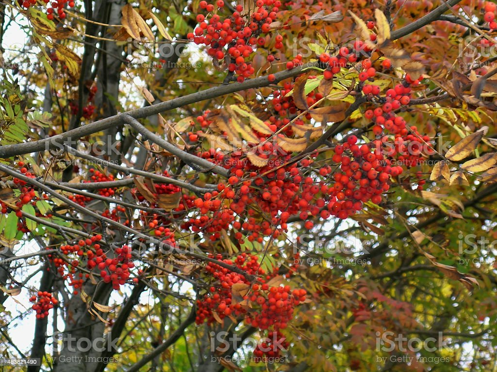 Rowan berries in fall stock photo