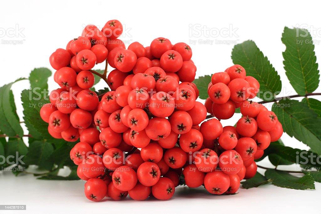 Rowan berries royalty-free stock photo