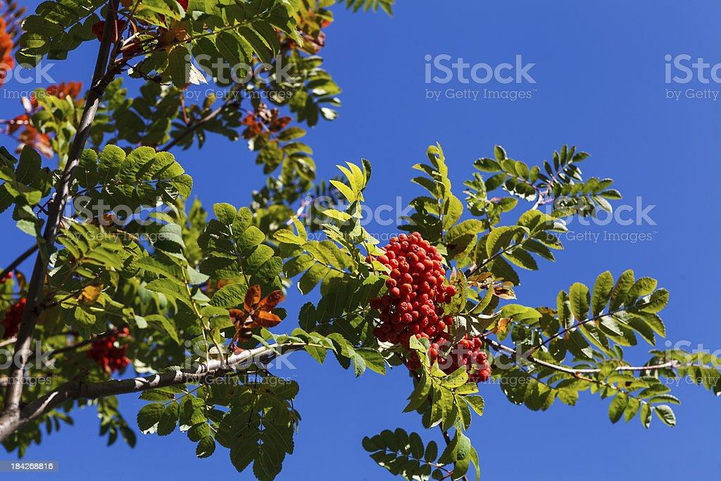Rowan berry stock photo