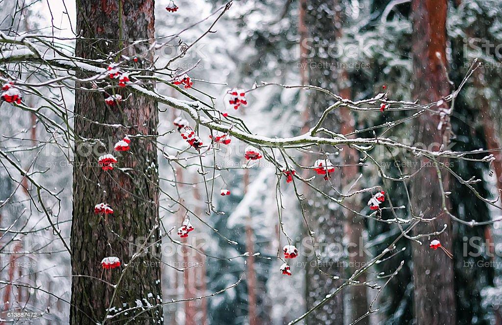 Rowan Branch In Winter Forest stock photo