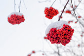 rowan branch with snow