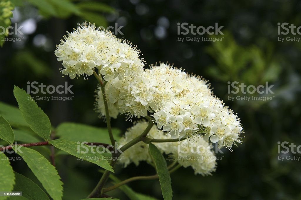 Rowan Flowers stock photo