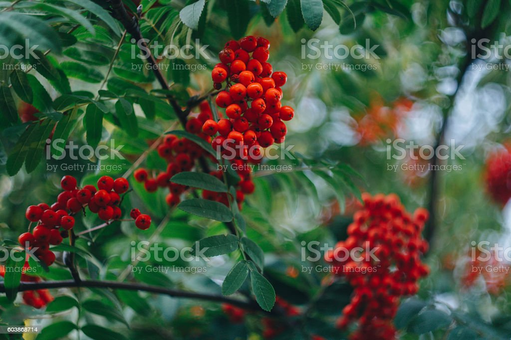 Rowan fruit on a tree stock photo
