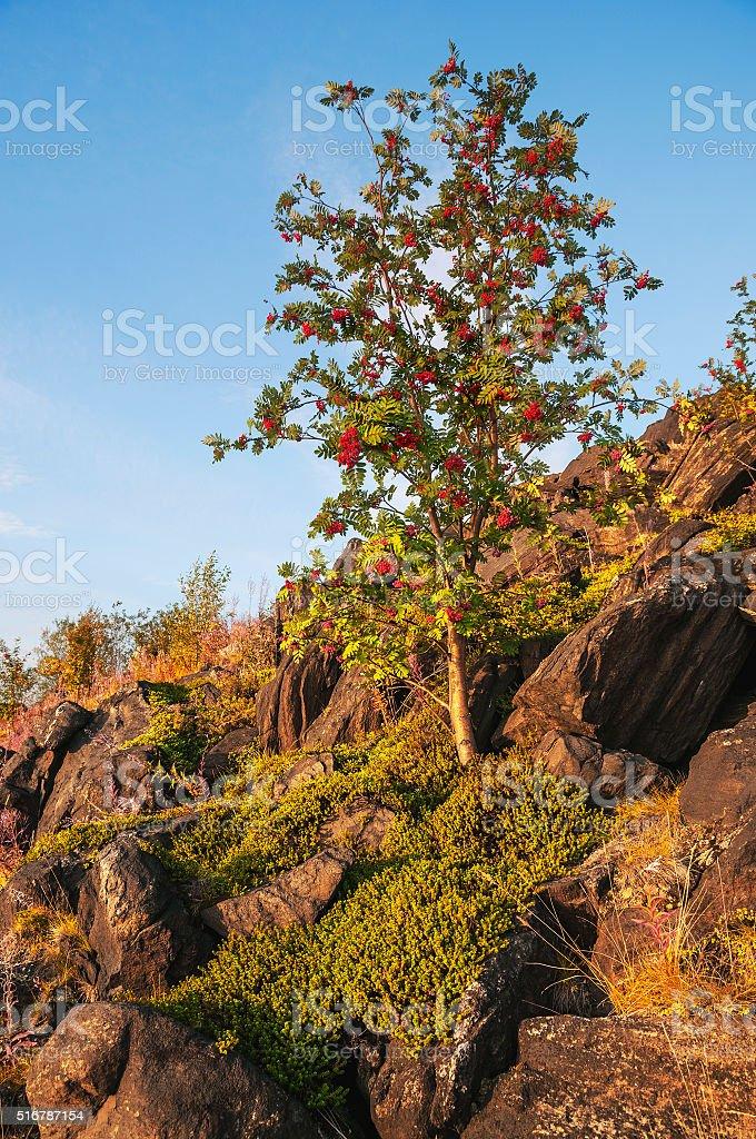 Rowan, growing on rocks. stock photo