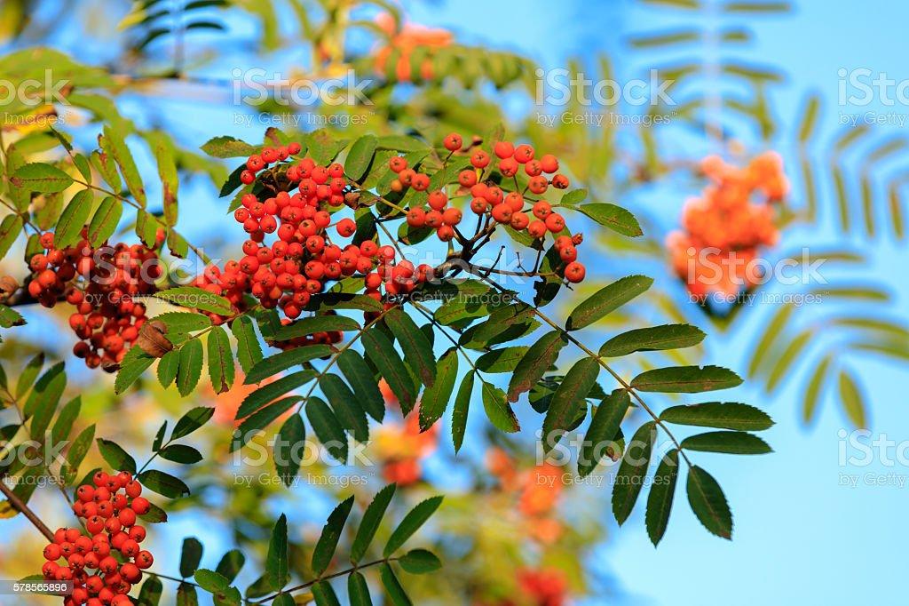 Rowan on the branch against blue sky stock photo