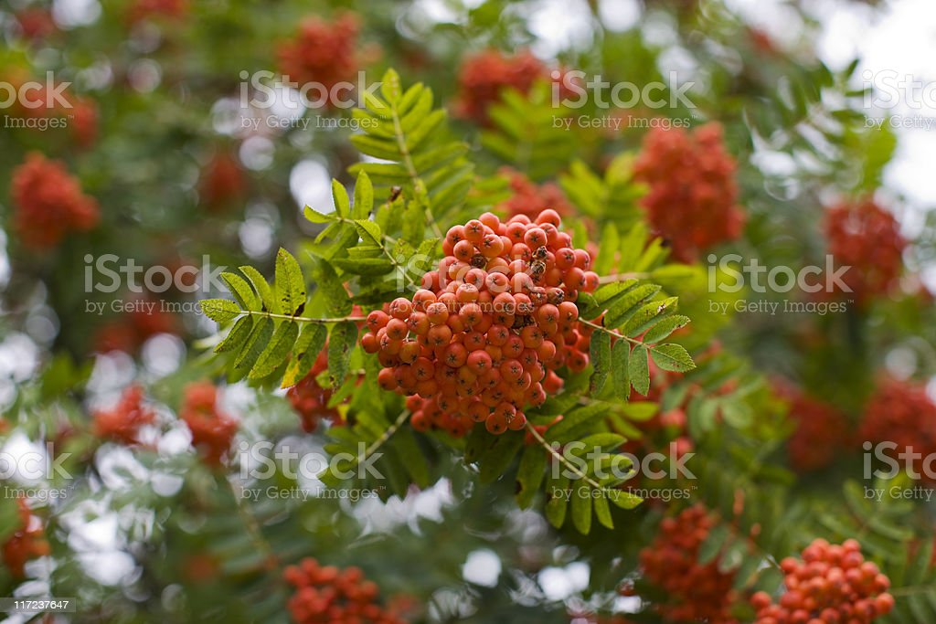 Rowan (Sorbus aucuparia) stock photo