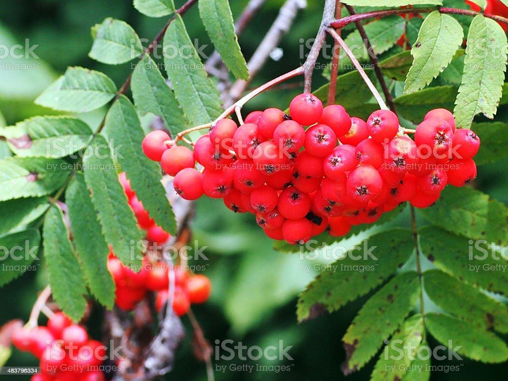Rowan (Sorbus aucuparia) pomes stock photo