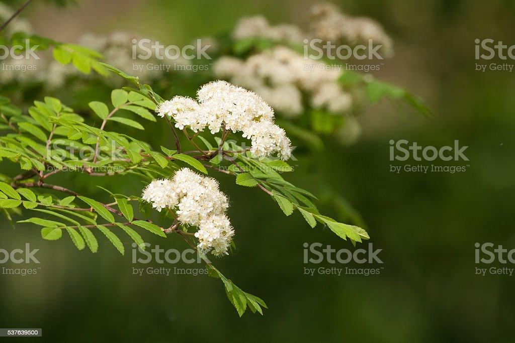 rowan tree flowers in spring stock photo