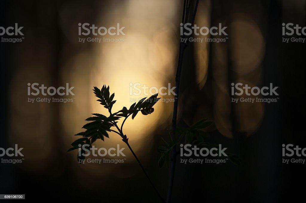 Rowan tree leaves against defocused background stock photo