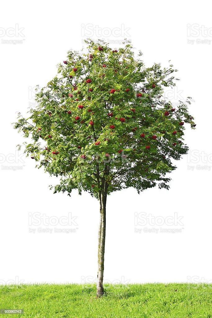 rowan tree stock photo
