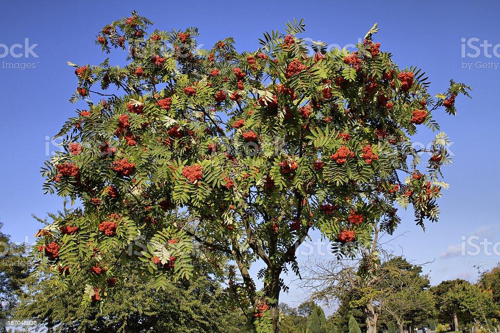 Rowan tree Sorbus aucuparia red berries in autumn stock photo