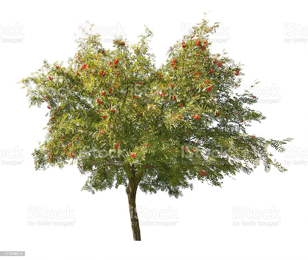 rowan tree with berries isolated on white stock photo