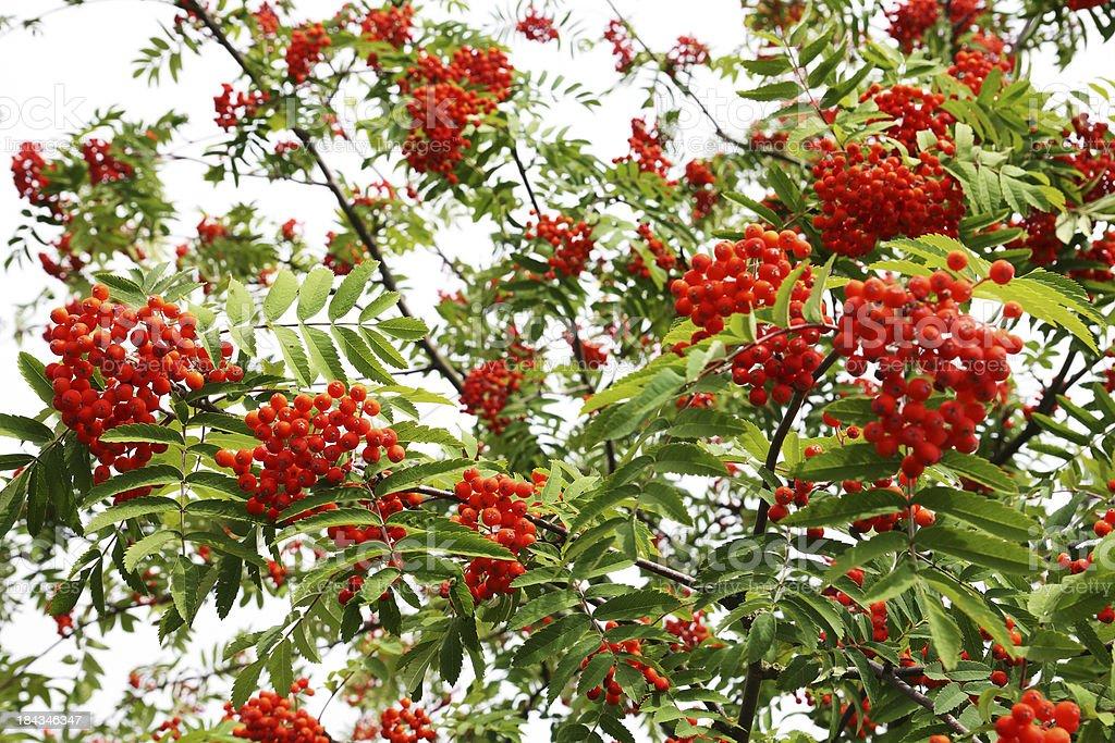 Rowan tree with red berry fruit stock photo