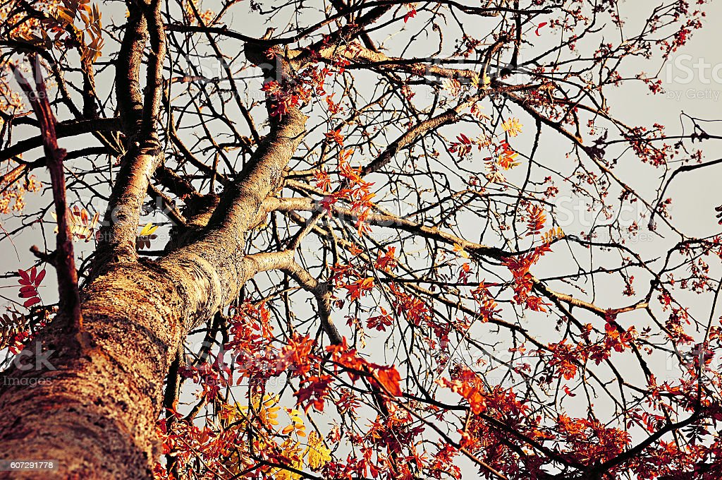 Rowan tree with red leaves against the autumn sky stock photo
