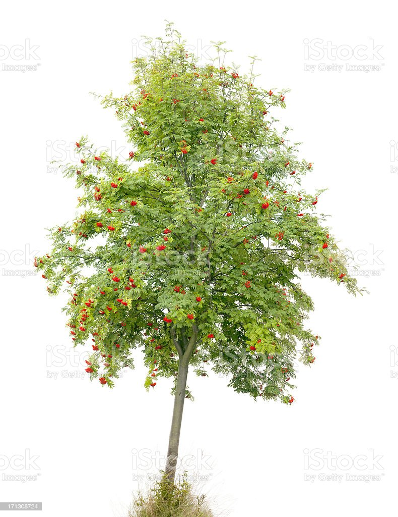 Rowan Tree/Ash (Sorbus aucuparia) with red fruits isolated on white. stock photo