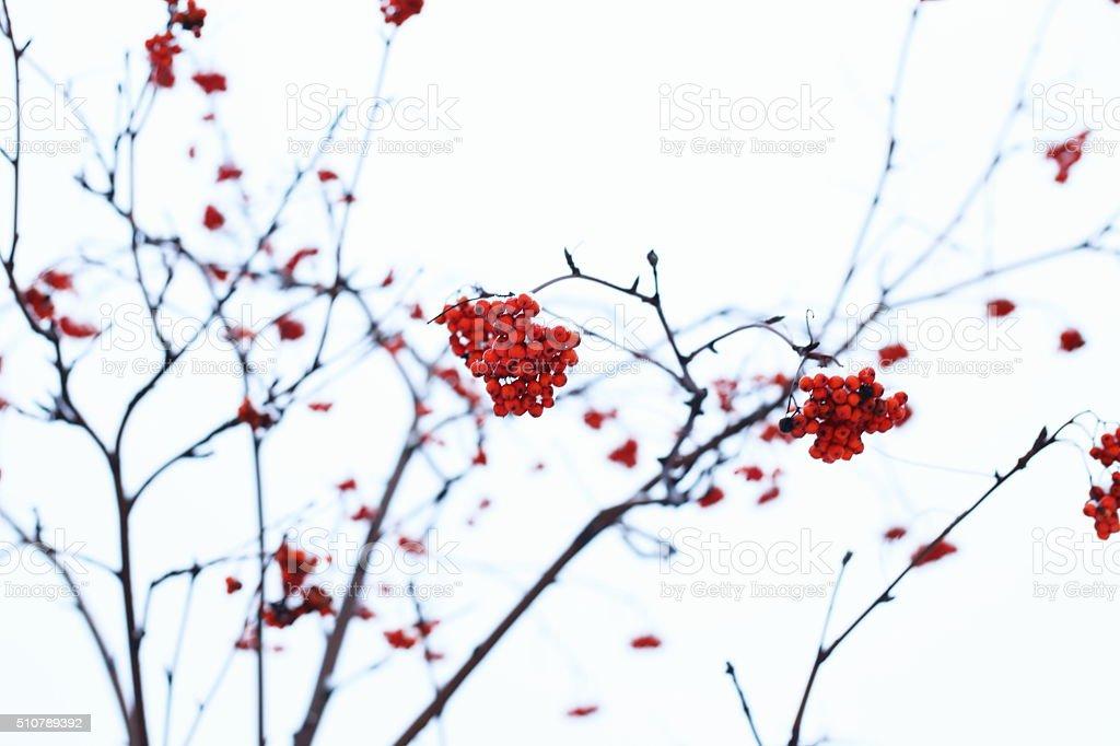 Rowanberry royalty-free stock photo